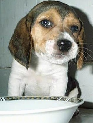 Close Up - A brown, tan and white tricolor with Beagle puppy is sitting in front of a cereal bowl of milk with its head tilted to the side and a smerk on its face.
