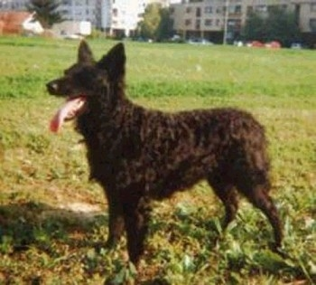 A Croatian Sheepdog is standing outside in grass with buildings in the background. Its mouth is open and its long tongue is out.