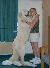 A Great Pyrenees is standing on its hind legs and its front paws are on the shoulders of a lady in a green shirt. The dog is almost as tall as the lady.