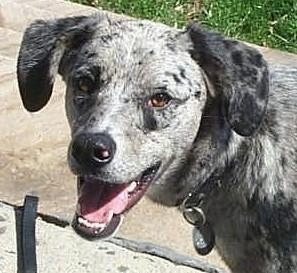 Louisiana Catahoula Leopard Dog (Catahoula Leopard Dog) (Catahoula Hog Dog) (Catahoula Cur)
