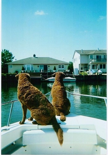 Molly and Daisy the Chesapeake Bay Retrievers are standing at the front of a boat that is on the water