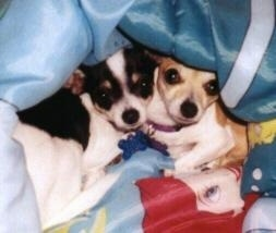 Dixie and Sandy the Chihuahuas are laying under and peeking out of a blanket that had Ariel from Disneys the Little Mermaid on it