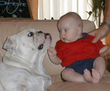 A white Bulldog is laying on a couch next to an infant boy in a red with blue shirt. The boy is touching the side of the Bulldogs face. There are hands holding onto the baby's arm and shoulder.
