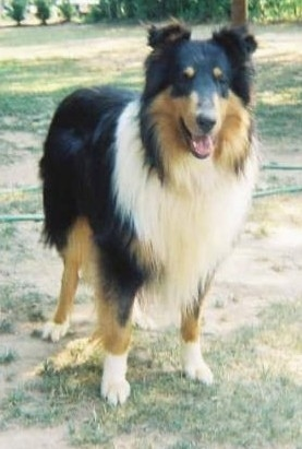 A black, tan and white Tricolor Rough Collie is standing in a patchy yard with her mouth open and tongue showing looking happy