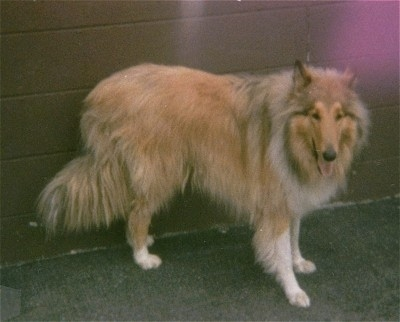 Side view - A tan with white long-coated, Rough Scottish Collie dog is standing in front of a wall and it is looking forward. its mouth is open and tongue is out.