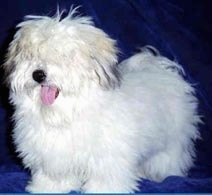 A Coton De Tulear is standing on a blue blanket with its eyes covered with its white coat and its tongue is out