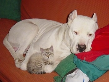 Boludo the Dogo Argentino is laying on a red couch and Farouk the tiny kitten is laying curled up with the dog