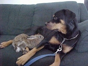 A black and tan Rottie dog laying on a blue-gray couch with a rabbit climbing up on her