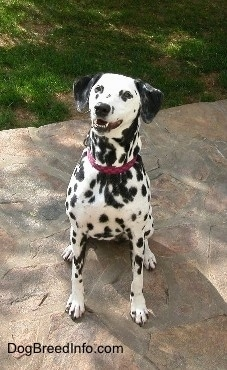 Molly the Dalmatian is wearing a red collar sitting on a stone porch. Her mouth is open. It looks like she is smiling