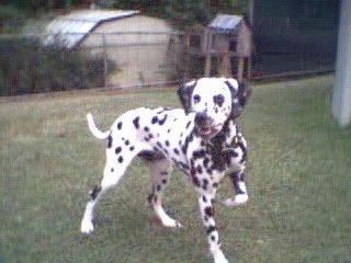 Abby the Dalmatian is standing in a backyard and his front right paw is in the air