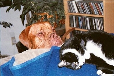 Zeke the Dogue de Bordeaux is looking over the back of a couch at Cam the black and white cat who is laying on a blue blanket.
