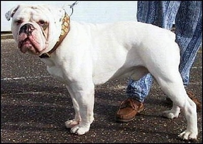 Mastini's Lord Horatio Nelson the white Dorset Olde Tyme Bulldogge is wearing a thick collar and standing in a parking lot and there is a person behind him