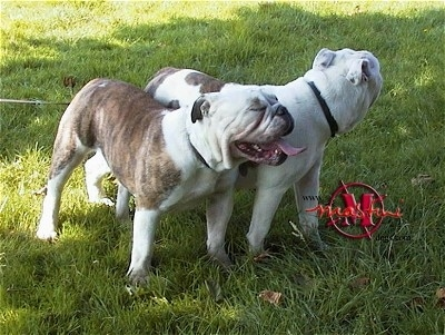 Beatty and Phee the white with brown brindle Dorset Olde Tyme Bulldogges are standing in a field under the shade of a tree.