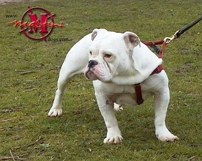 True Grit the white Dorset Olde Tyme Bulldogge is wearing a harness standing outside in a field and looking to the left.