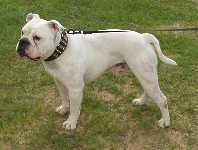 Monty the white Dorset Olde Tyme Bulldogge is standing outside in grass.