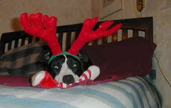 A Border Collie laying in a human's bed with red reindeer antlers on