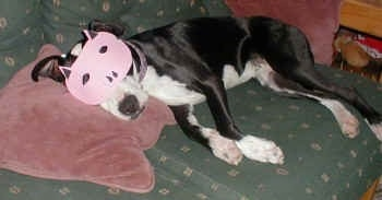 A black and white Pit Bull sleeping on a green couch with its head on a maroon pillow wearing a pig mask