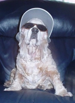 Shabbarank the white cream Cocker Spaniel is sitting on a black leather couch with a hat on and sunglasses