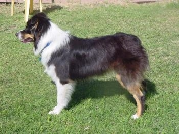 The left side of a tri-color Australian Shepherd that is standing on grass and it is looking to the left.