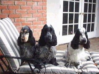 Poppy, Jake and Kelly the English Cocker Spaniels are sitting in a lounge chair on a porch in front of a brick house.