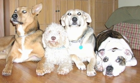 Four dogs lined-up in a row on a hardwood floor - A tan with black and white dog, a curly white poodle mix dog, a tan and black with white dog and a white with brown brindle Pit Bull dog.