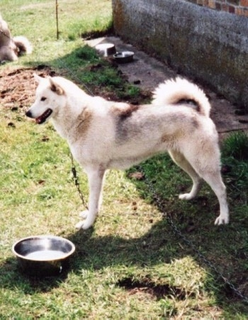 A white with gray Greenland Dog is standing in grass next a metal water bowl. Its mouth is parted and it is looking at something in the distance.