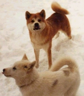 A red with white and A tan Greenland Dog are standing in snow looking up