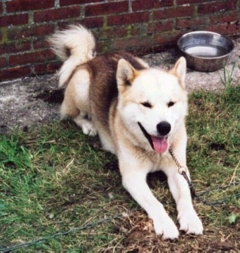 A brown, tan and white Greenland Dog is laying in front of a brick wall with a medal water dish behind it. Its mouth is open and tongue is out