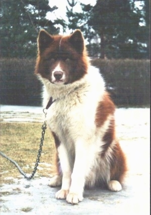 A brown and white Greenland Dog is sitting in a driveway next to grass