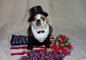 A brown and white Bulldog wearing a tuxedo and a top hat is sitting on a white backdrop on top of an American flag. There are red rose flowers and red, white and blue tinsel in front of the dog.