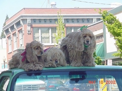 Three tan American Cocker Spaniels are laying and sitting on top of a car that is parked on the street with buildings behind them.