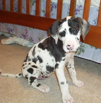 Great Dane Dog Breed Information And Pictures