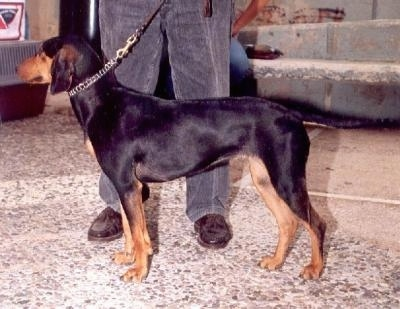Left Profile - A black and tan Greek Hound is standing on a sidewalk in front of a house with a person behind it.