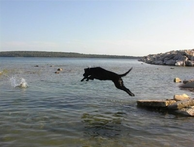 Hunter the Black Lab is in mid-air jumping into a body of water