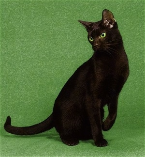 SusitnaLadys Trudy of Mokolea the Havana Brown cat is sitting against a green screen