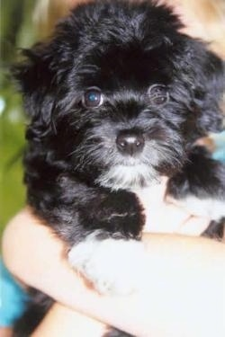 Close Up - A black with white Havanese puppy is being held up in a persons arm