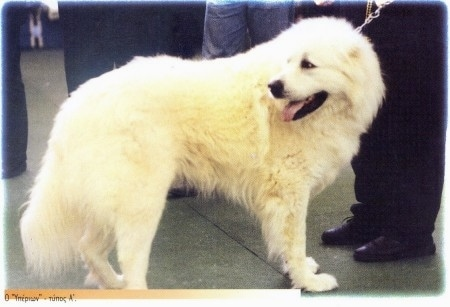 A white Greek Sheepdog is outside surounded by people