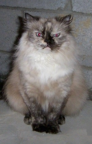 Himalayan Cat is sitting in front of a white brick wall and looking back at the camera holder