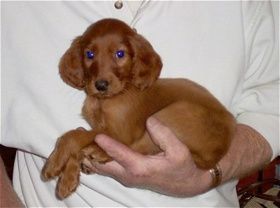 A red Irish Setter puppy is in the arm of a person in a white shirt