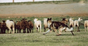 New Zealand Herding Dog Breeds