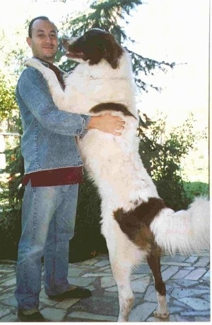 Orfo the Bulgarian Shepherd Dog standing on its back legs with its front legs on the shoulder of its owner