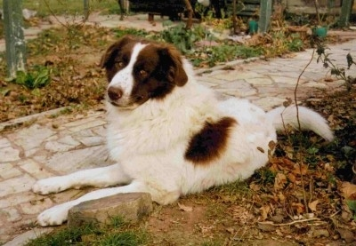 Karakachan (Bulgarian Shepherd Dog)
