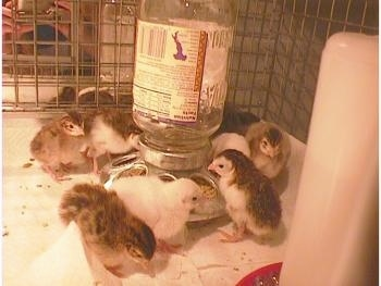 Eight keets are standing in a cage surrounding a self feeder.
