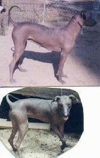 Top Photo Right Profile - A Hairless Khala is standing in dirt with its tail up and there is a chain link fence behind it. Bottom Photo - A Hairless Khala is turning around in dirt. Its mouth is open and tongue is out