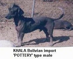 A Hairless Khala is standing in dirt and in front of a chain link fence. There is another Hairless Khala laying behind it. The words - KHALA Bolician import 'POTTERY' type male