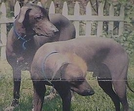 Two Hairless Khala dogs are standing in grass looking to the right.