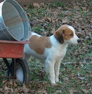 A white with red Kooikerhondje puppy is standing in grass with fallen leaves all around it. There is a red wagon next to it