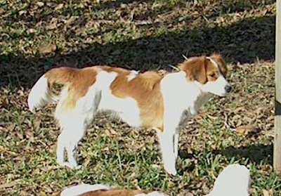 A white with red Kooikerhondje is standing outside in grass.