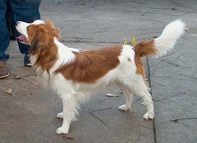 A white with red Kooikerhondje is standing on concrete looking up at the person next to it. Its mouth is open and tongue is out