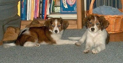 Two brown and white Kooikerhondje puppies are laying in front of a wicker basket and a bookshelf